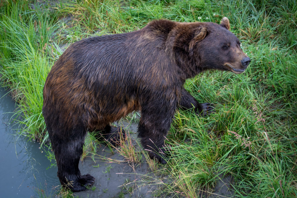 grizzly after a bath